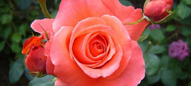 Как ухаживать за розами?